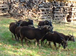 Eine Herde Soayschafe in Deutschland