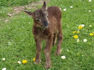 Ein Soay-Lamm, erst wenige Tage alt